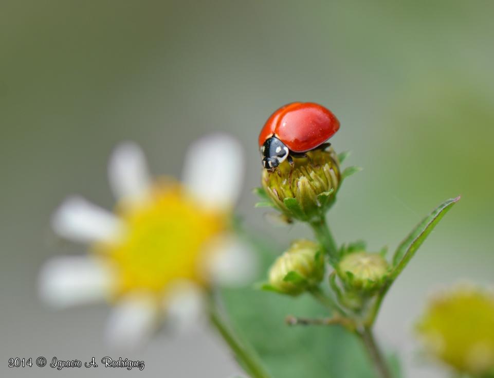 Ladybug-140405-IAR_9398c.jpg