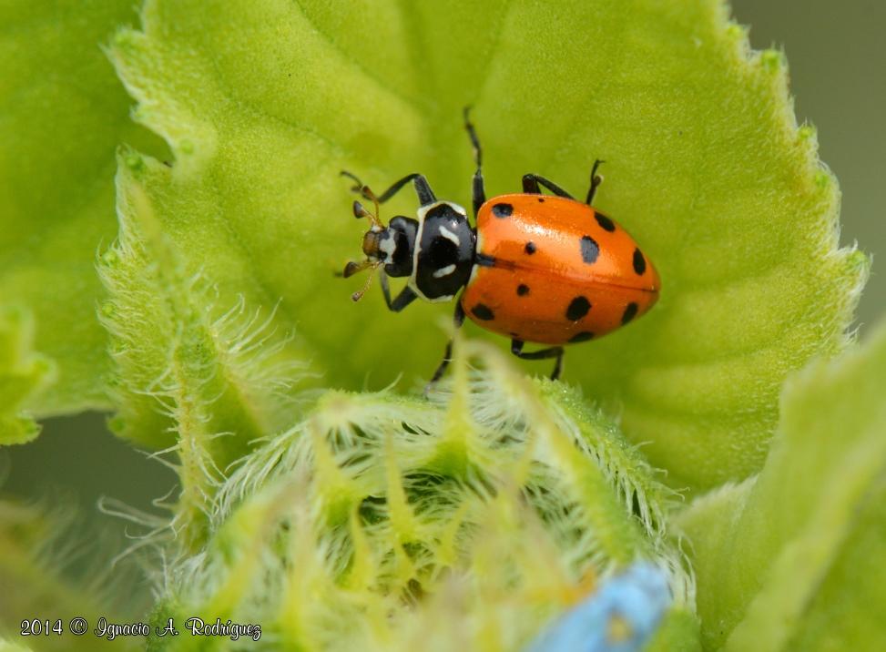 ladybug-140417-IAR_0869c.jpg