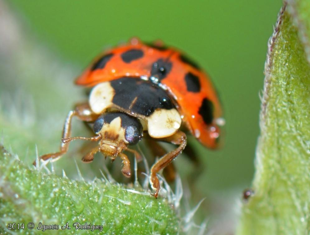 ladybug-140420-IAR_1633_IIb_A.jpg