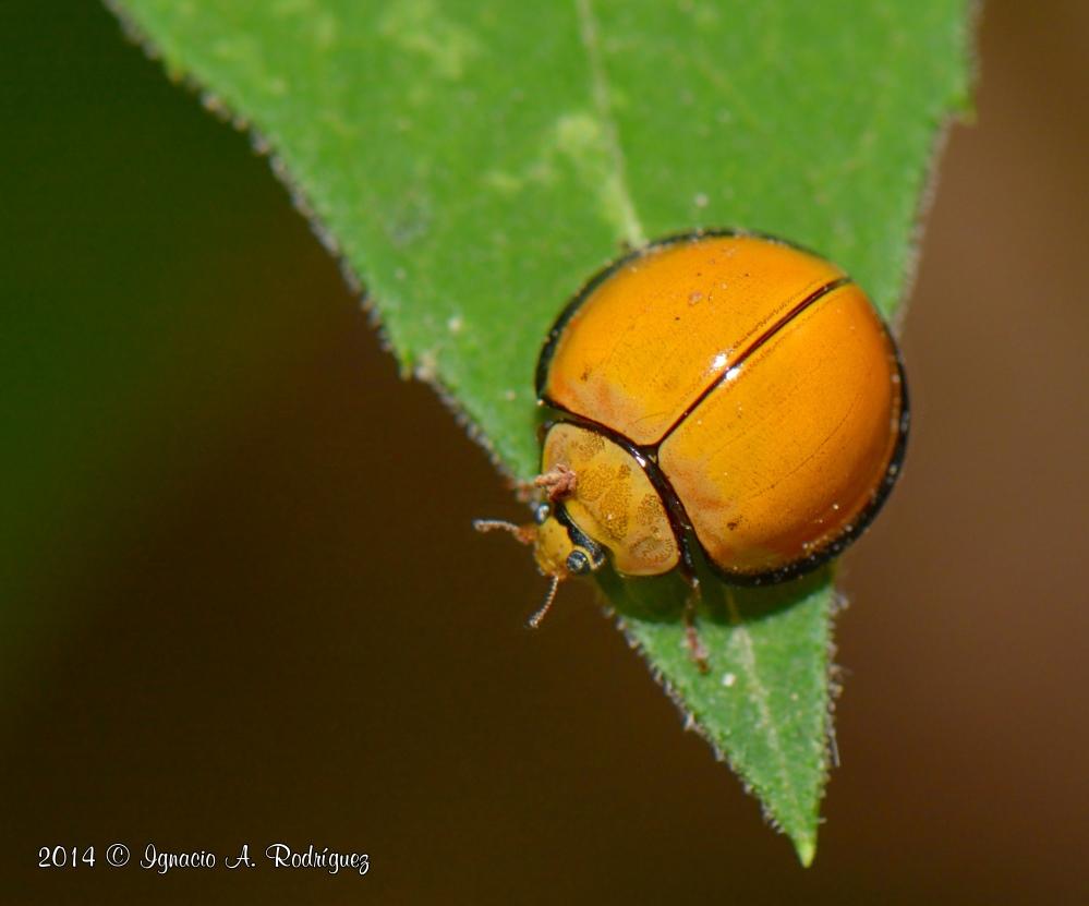 ladybug-140418-IAR_1300_II_A.jpg