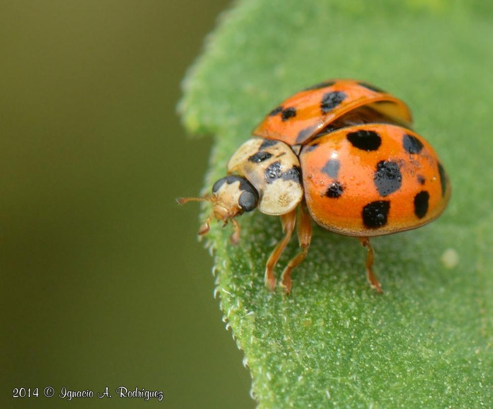 ladybug-140417-IAR_0951_II_A.jpg