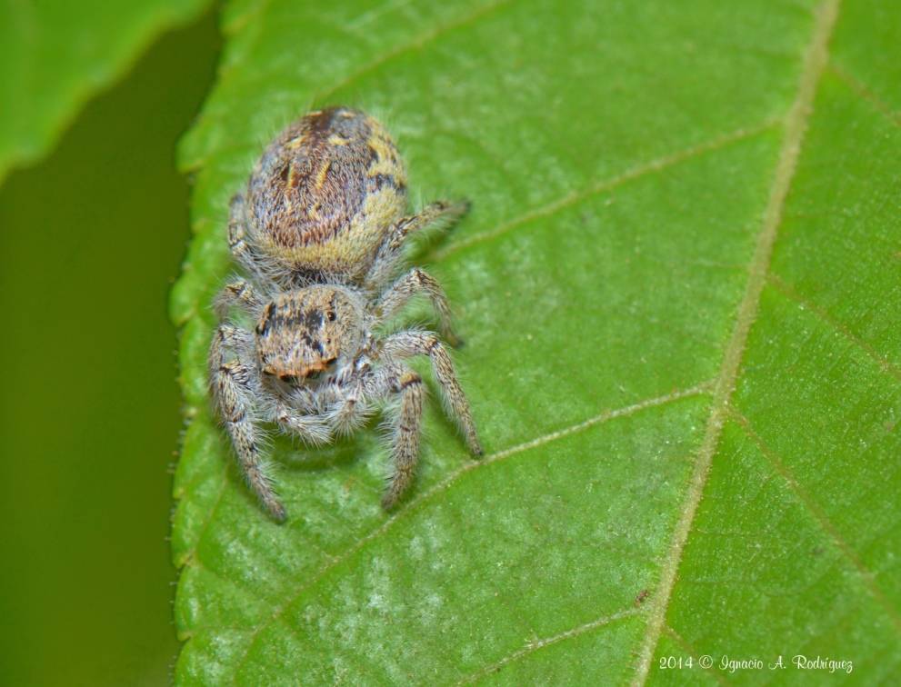 spider-140419-IAR_1510_+_1511_II_A.jpg
