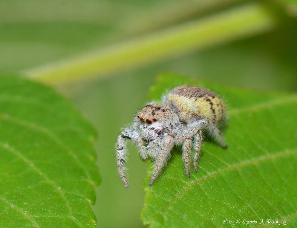 spider-140419-IAR_1503_A.jpg