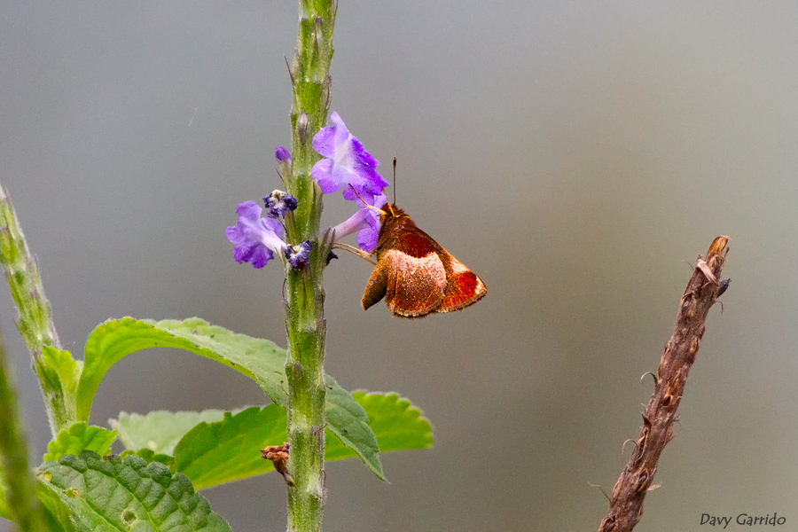 mariposa-Sanbartolo-01_Remella_rita.jpg