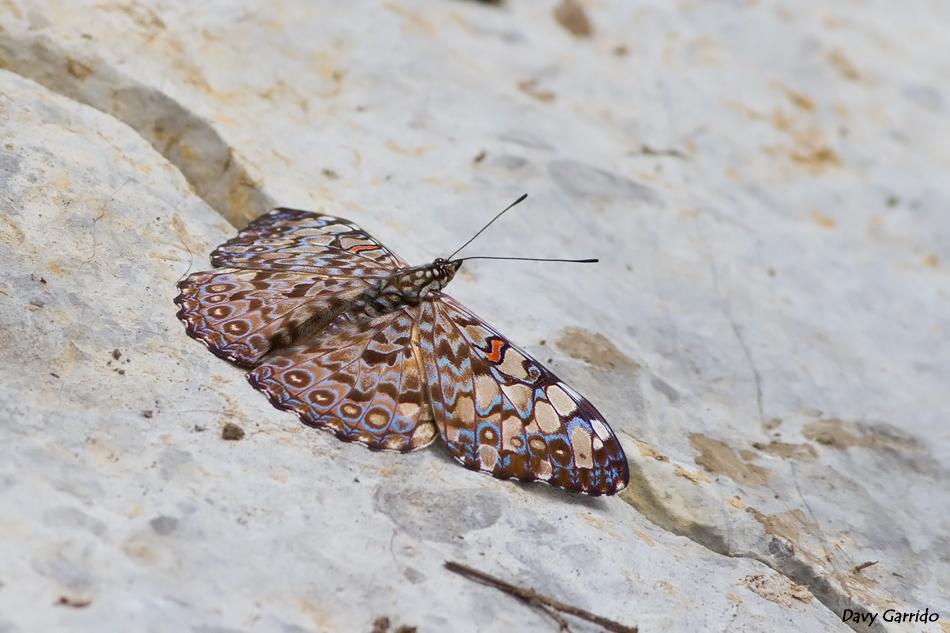 mariposa-huehuetla-02_Hamadryas_feronia.jpg