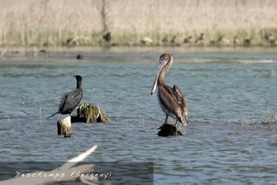 090104_1456_brown_pelican.jpg